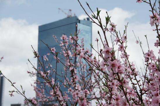 藤田邸跡公園の桜1.JPG