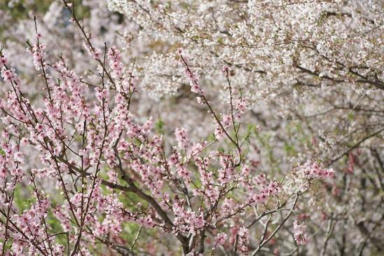 藤田邸跡公園の桜2.JPG